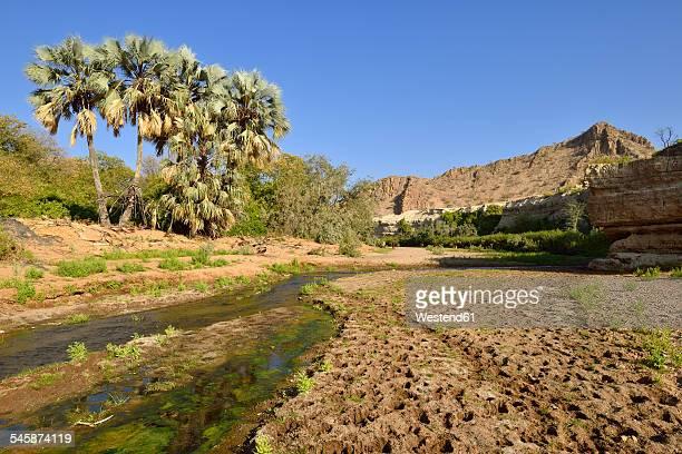 Africa, Namibia, Kunene Province, Damaraland, Khowarib River valley near Warmquelle, Makalani Palms, Borassus aethiopum