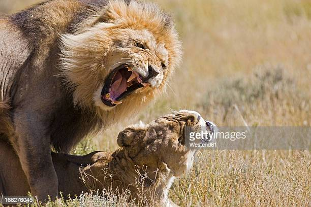 Africa, Namibia, Lion and lioness (Panthera leo) mating