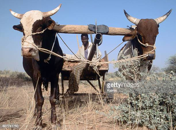 Africa, North Africa, Niger, Sahara Desert, View Of Farmer With Plow Pulled By Cattle (Year 2000)