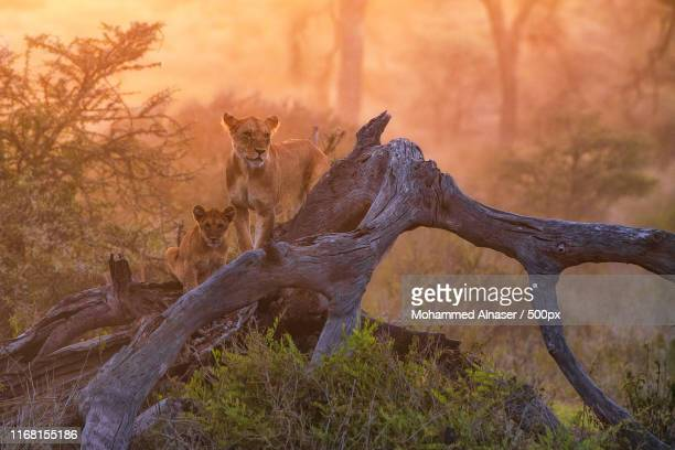 africa pride - ngorongoro conservation area stock pictures, royalty-free photos & images