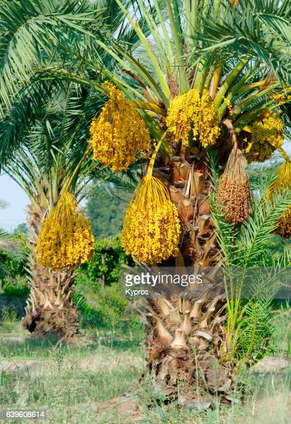 africa, south africa, view of date palm tree (year 2009) - date palm tree stock pictures, royalty-free photos & images
