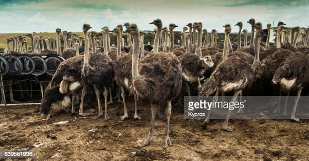 africa, south africa, view of ostrich farm (year 2000) - 動物学 ストックフォトと画像