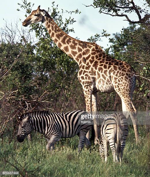 Africa, Southern Africa, South Africa, Kruger National Park, View Of Giraffe And Zebra (Year 2000)