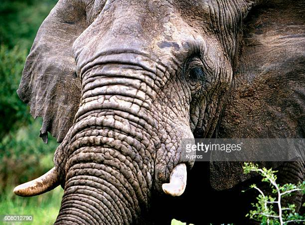 Africa, Southern Africa, South Africa, Kruger National Park View Of Elephant (Year 2000)