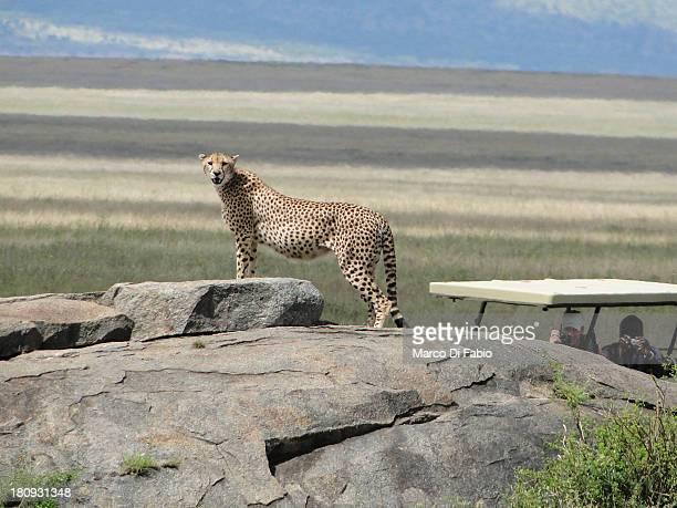 "Africa tanzania ""jamhuri ya muungano wa tanzania"" safari wildlife bush savana ""serengeti national park"" serengeti national park parco nazionale..."