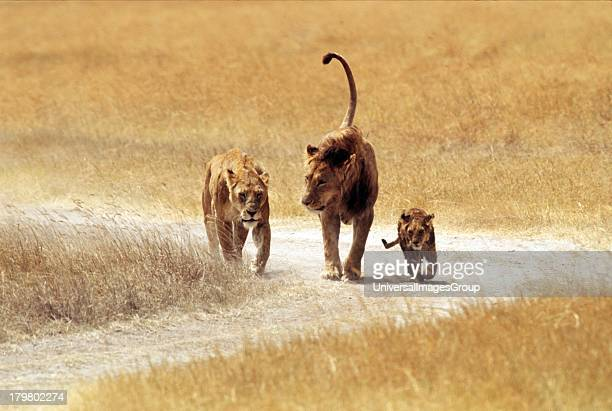 Africa Tanzania Safari African Lion Family Male Female and Cub together in Ngoro Ngoro Crater