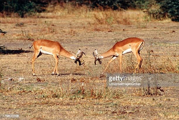Africa Tanzania Safari Impala males fighting in the Serengeti