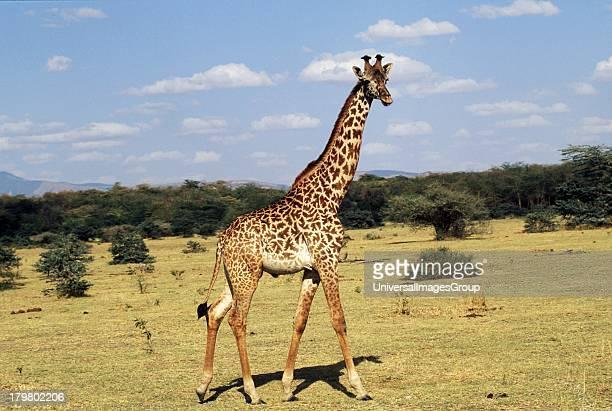 Africa Tanzania Safari Maasai Giraffe in the Serengeti