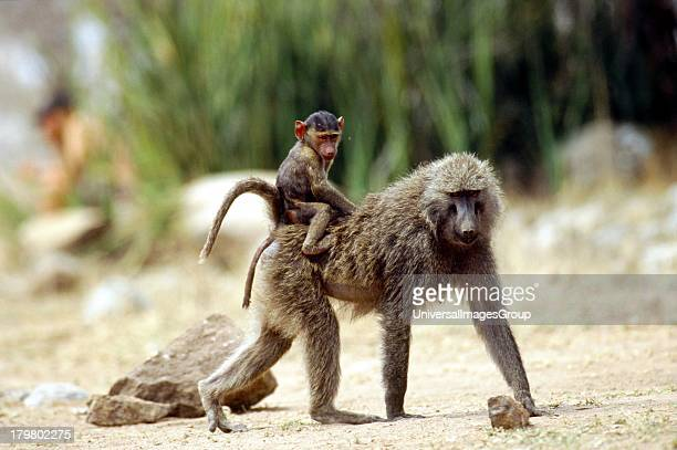 Africa Tanzania Safari Olive Baboon Female carrying baby on her back in the Serengeti