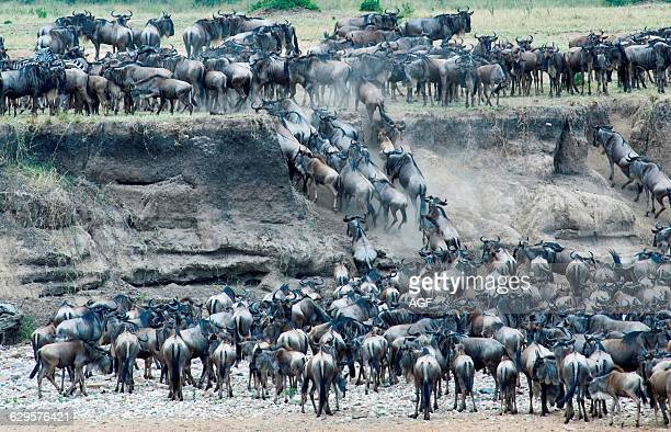 Africa Tanzania Serengeti National Park The Mara River Area The Annual Migration of The Wildebeests