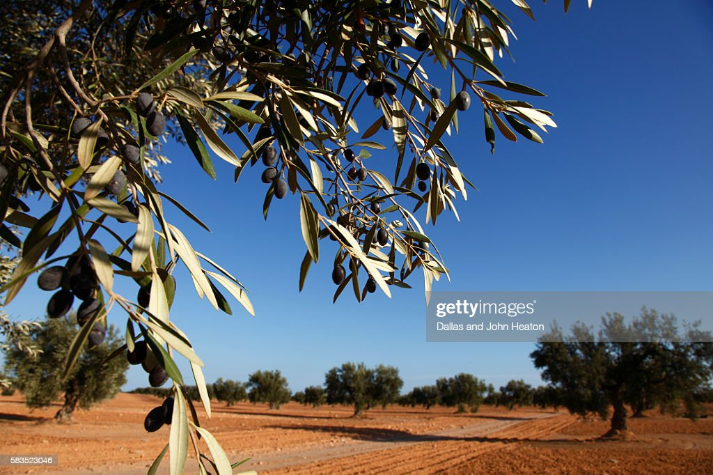 Africa, Tunisia, Gabes, Olive Tree Plantation : Stock Photo