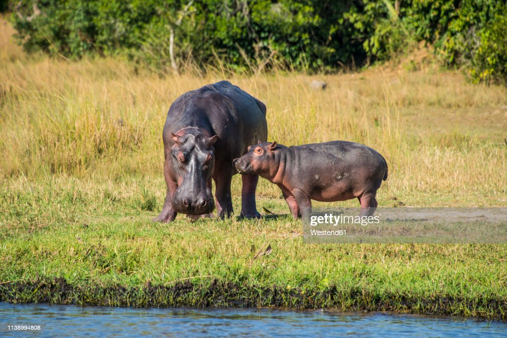 Africa, Uganda, Hippopotamus, Hippopotamus amphibius, mother with baby, Murchison Falls National Park : Stock Photo