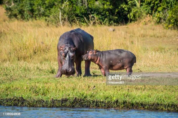 Africa, Uganda, Hippopotamus, Hippopotamus amphibius, mother with baby, Murchison Falls National Park