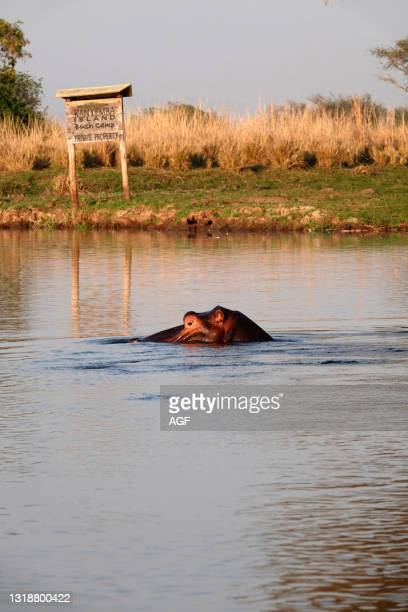 Africa. Zambia. Hippo at the camp.