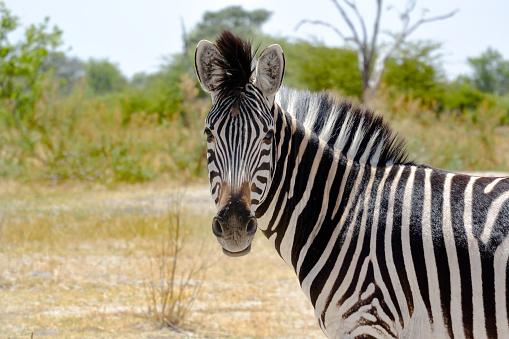 Africa Zebra looking into Camera 1037513816