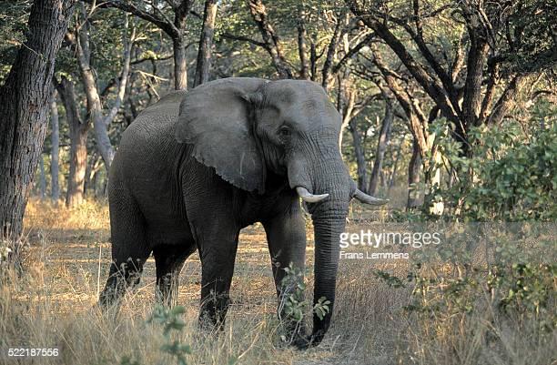 Africa, Zimbabwe, elephant