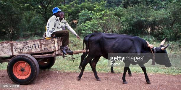 africa, zimbabwe, view of african cattle pulling cart with farmers (year 2000) - ox cart fotografías e imágenes de stock