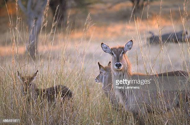 africa, zimbabwe, zambezi national park, three waterbucks - en:public_domain stock pictures, royalty-free photos & images