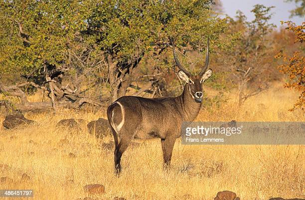 africa, zimbabwe, zambezi national park, waterbuck - en:public_domain stock pictures, royalty-free photos & images