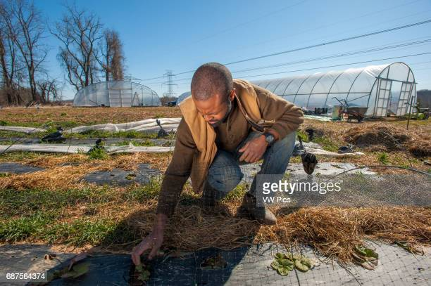 African America farmer with strawberries