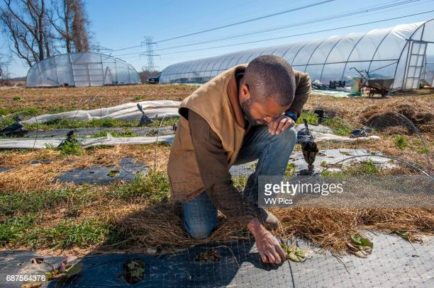 African America farmer with strawberry plants