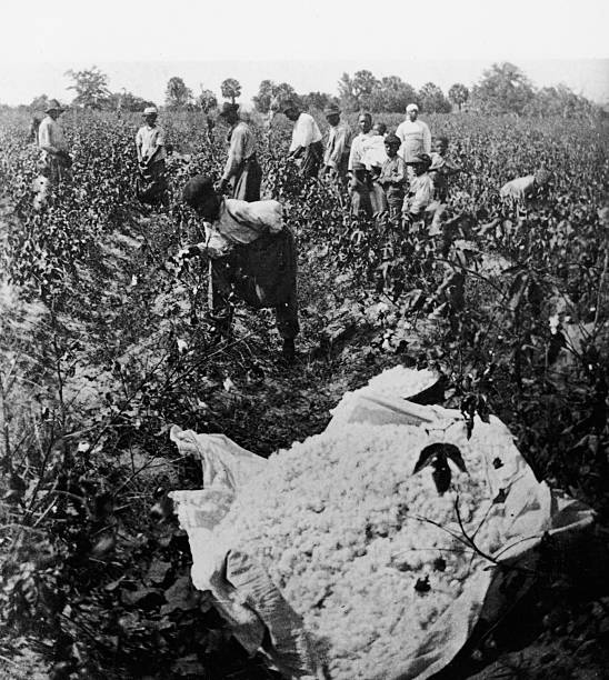 African American cotton field workers picking cotton,...