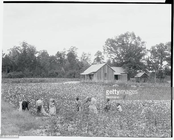 African American cotton pickers picking cotton near a little cabin which houses some of the workers