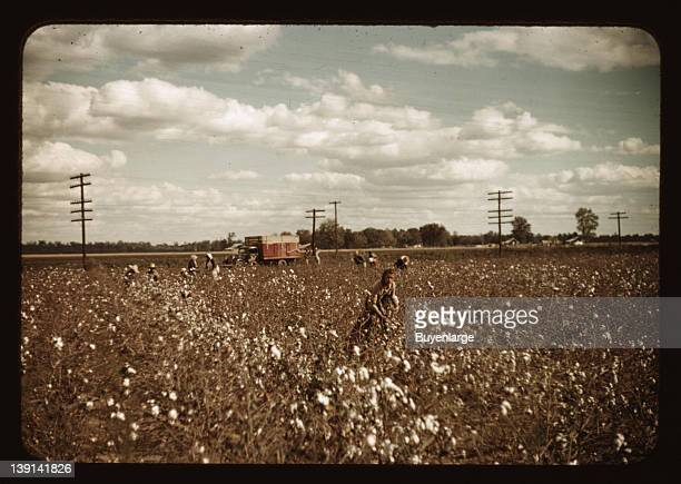 African American Daylaborers picking cotton 1939