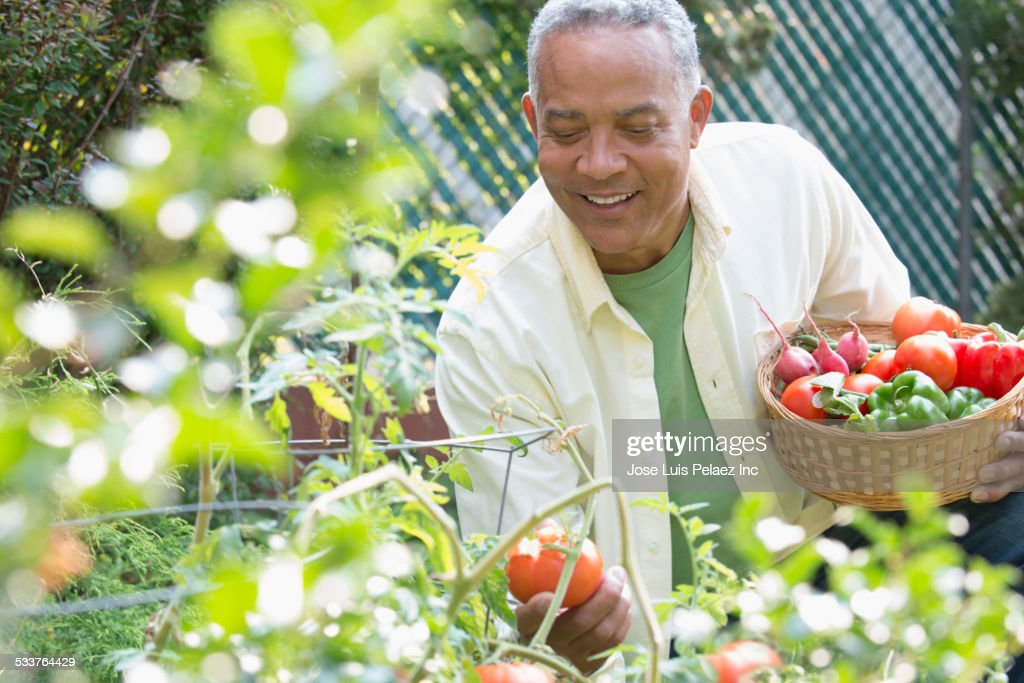 African American man picking vegetables in garden : Foto stock