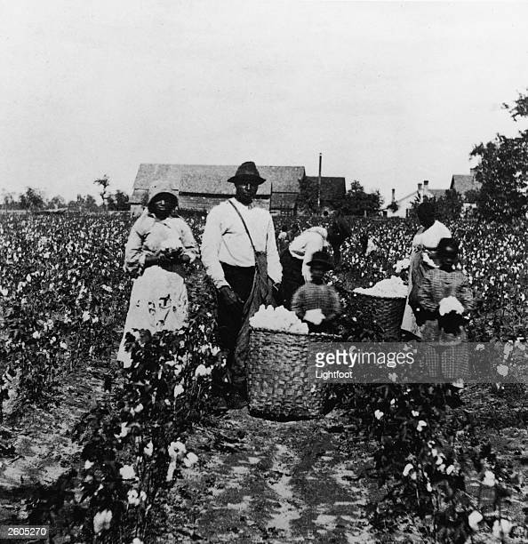 African American men women and children pick cotton in a cotton field and place it in straw bushel baskets circa 1890