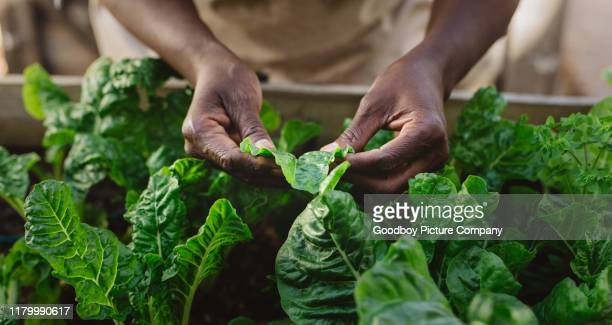 african american woman examining spinich leaves in her organic garden - spinach stock pictures, royalty-free photos & images