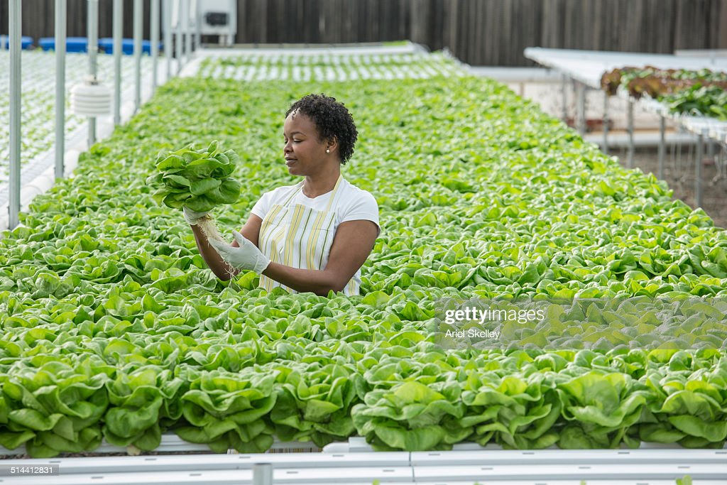 African American woman working in greenhouse : ストックフォト