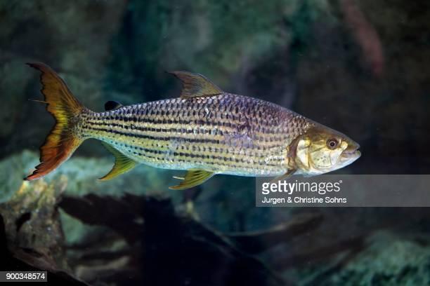 African arowana (Heterotis niloticus), adult, swimming, bonefish, captive, native in Africa
