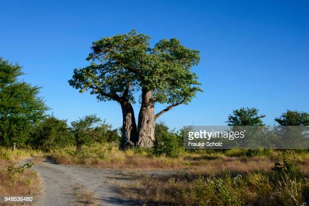 African baobab tree (Adansonia digitata) growing in Nxai Pan National Park, Botswana