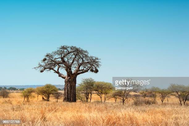 African Baobab tree in Plains of Taranigre National Park