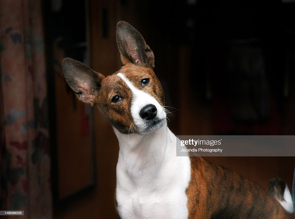 African Brindle Basenji : Stock Photo