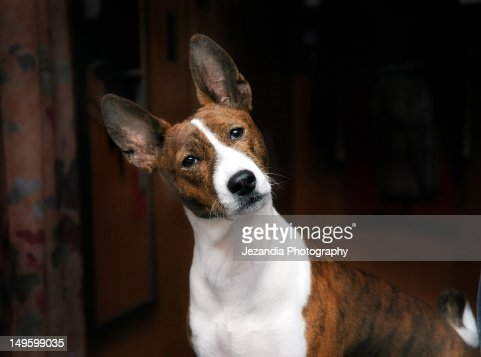 African Brindle Basenji Stock Photo Getty Images