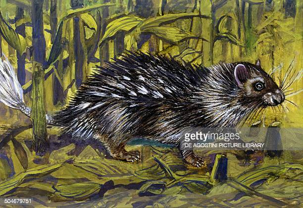 African brushtailed Porcupine Hystricidae drawing