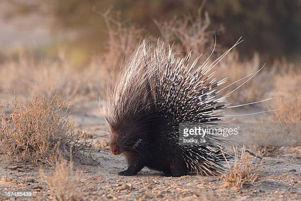 african brush-tailed porcupine with raised quills - porcupine stock photos and pictures