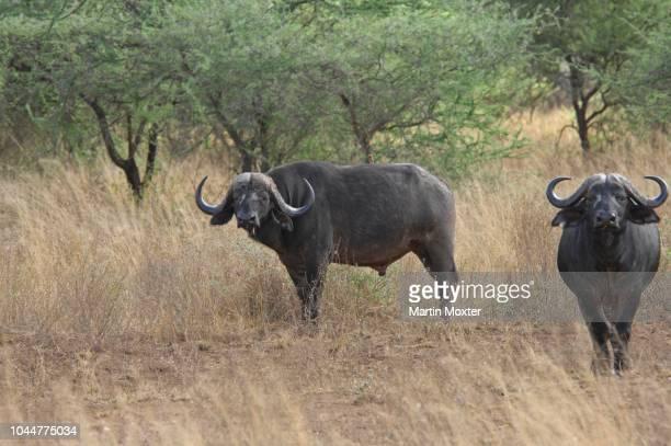 african buffalo, cape buffalo (syncerus caffer) bulls, massai mara, kenya - vista lateral stock pictures, royalty-free photos & images