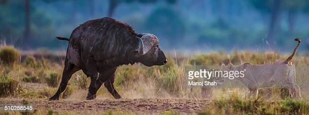 African buffalo chasing off a lioness