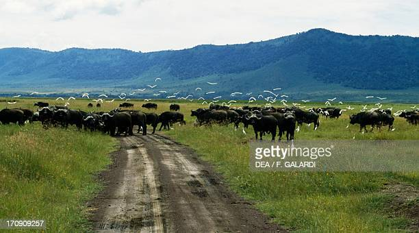 African Buffalo crossing A track in Ngorongoro Conservation Area Tanzania