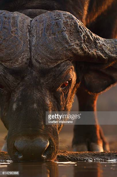 African buffalo, drinking at water hole.  South Africa