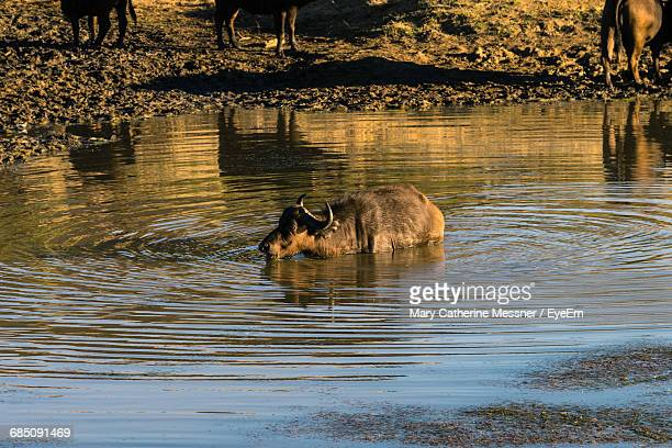 African Buffalo In Pond