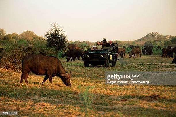 African buffalo (Cyncerus caffer), Mala Mala Game Reserve, Sabi Sand Park, South Africa, Africa