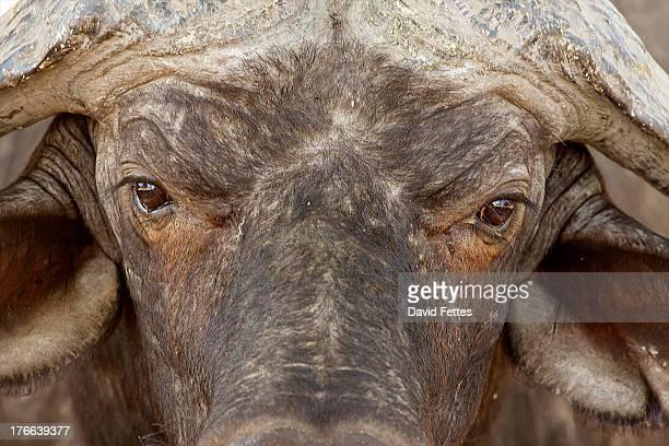 African buffalo, Mana Pools National Park, Zimbabwe, Africa