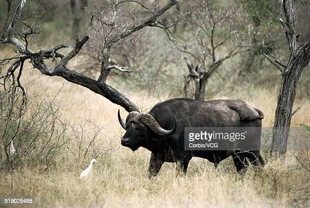 African Buffalo Meeting Wild Goose