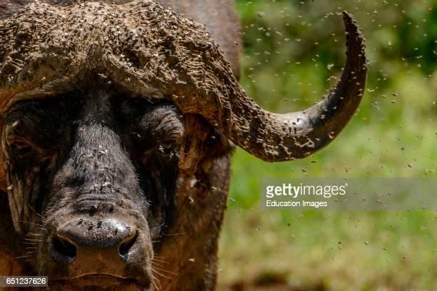 African buffalo or Cape buffalo Syncerus caffer Lake Nakuru Nakuru Great Rift Valley Kenya