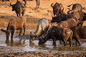 african buffalo herd congregating at waters