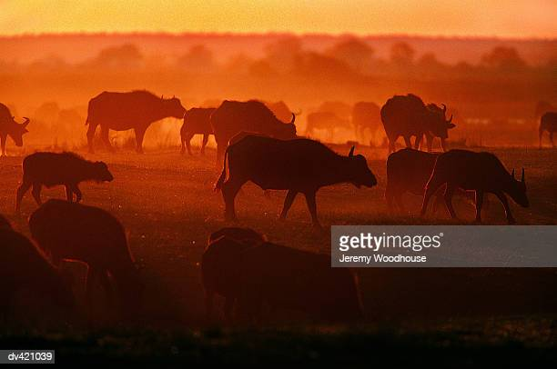 african buffalo (syncerus caffer) - wild cattle stock photos and pictures